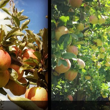 Apple-picking – an autumn highlight